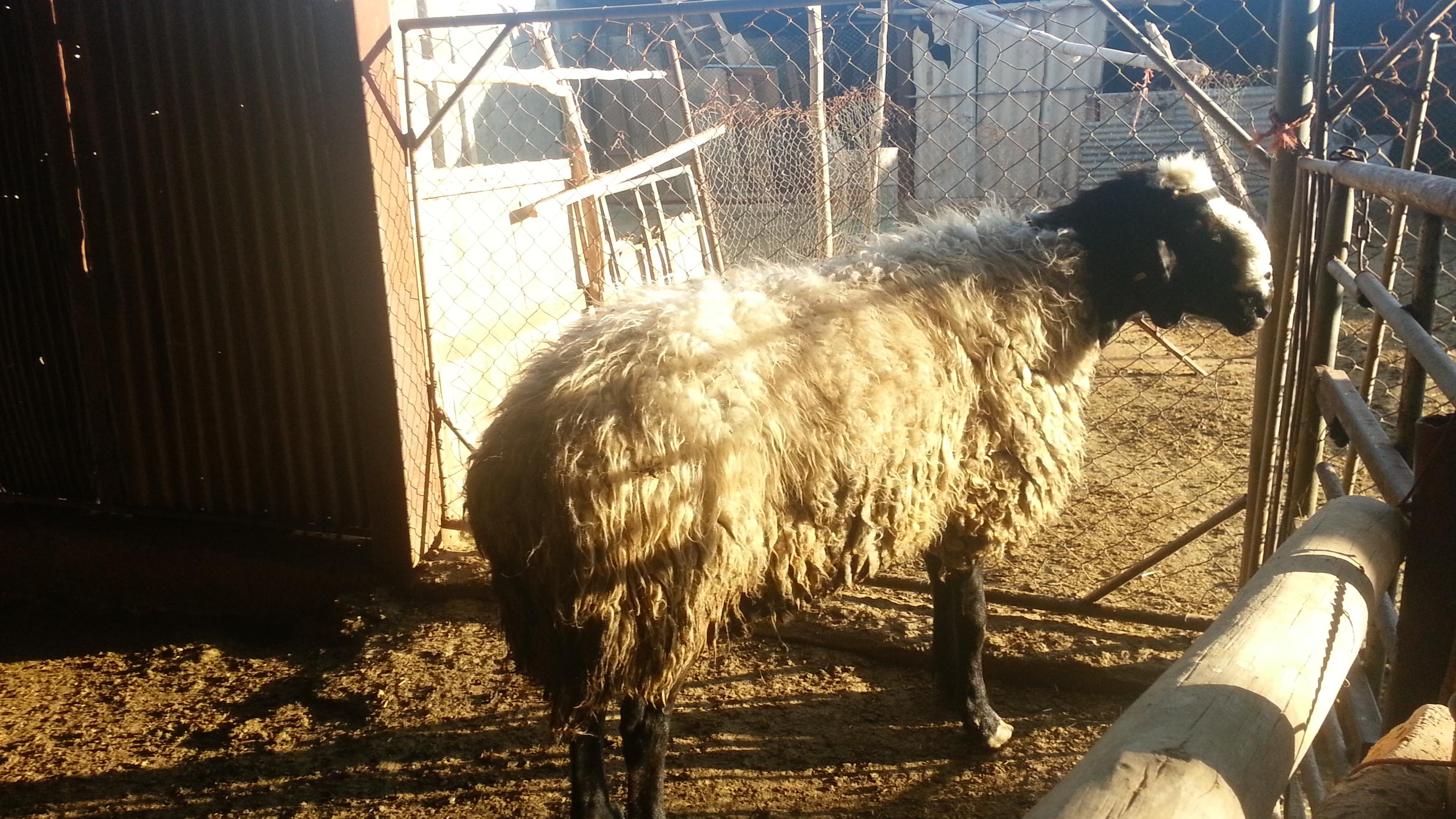 گوسفندی بی نظیر در نمایی زیبا طلایی است!!
