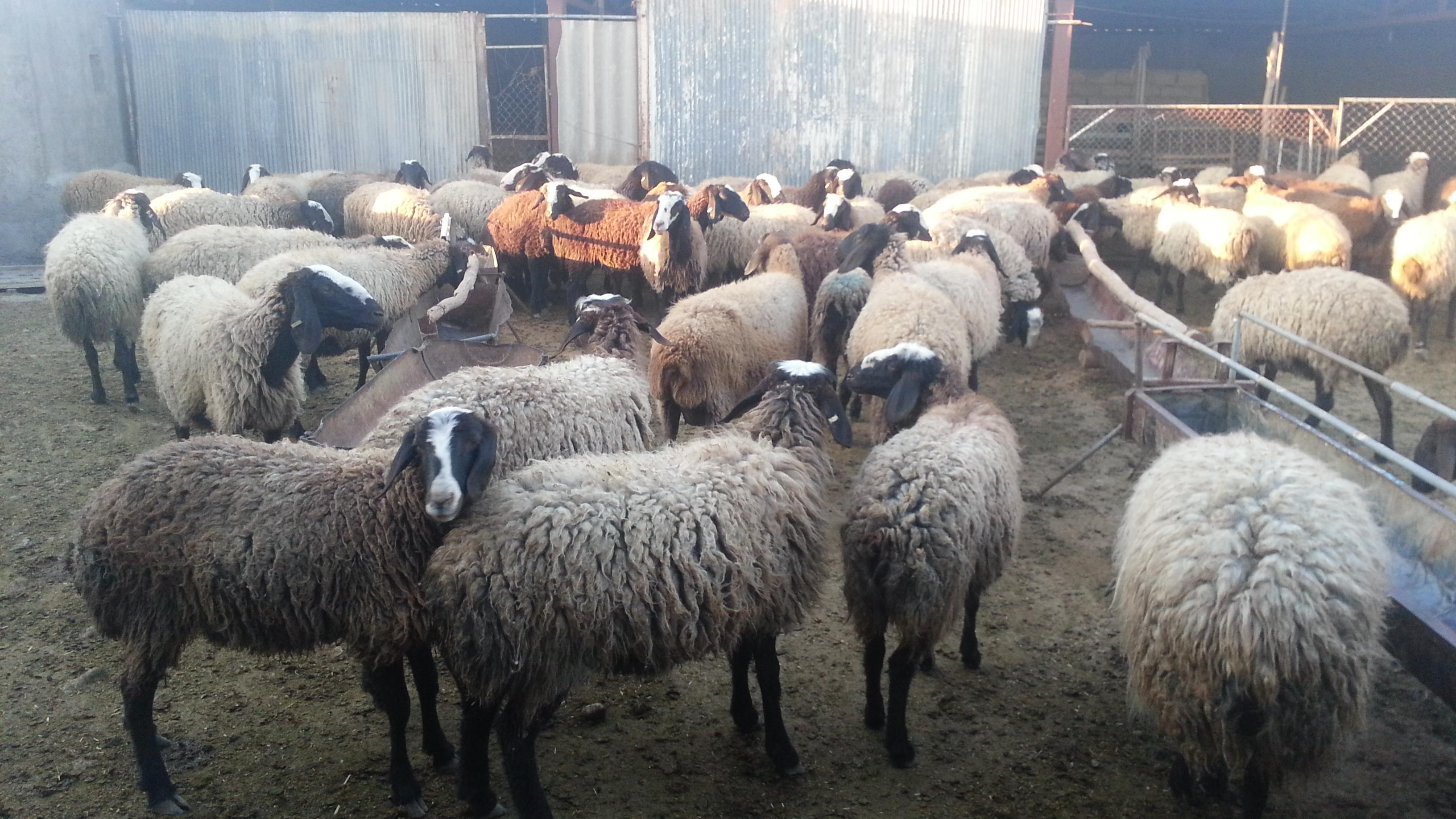 گله ی باشکوه و قدرتمند گوسفندان شال