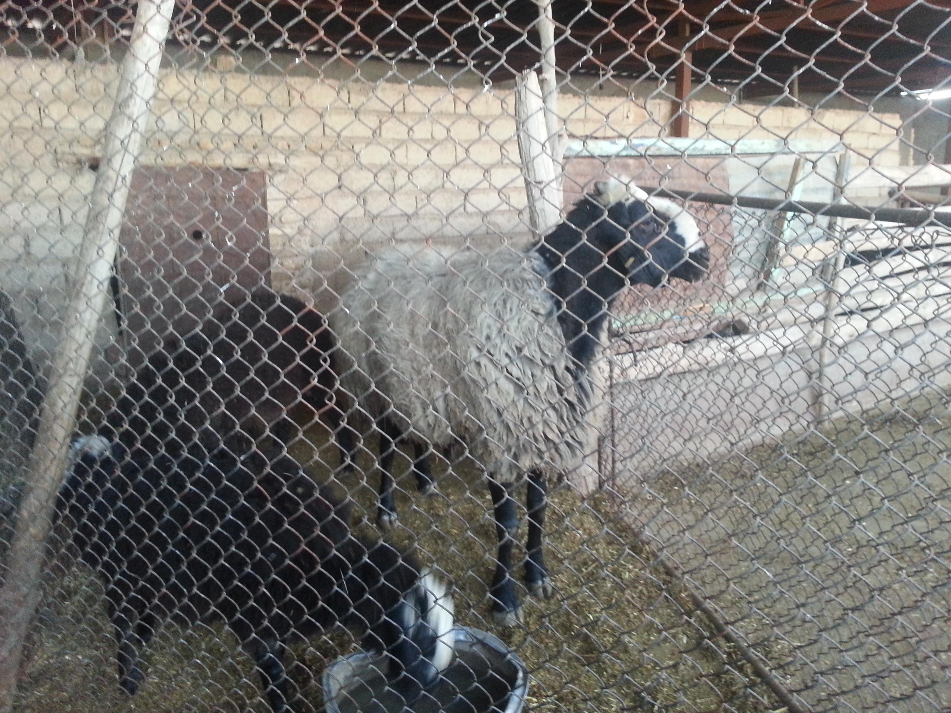 حبس گوسفند